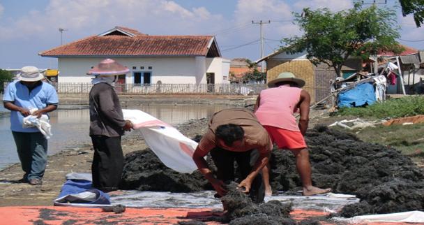 Budidaya Rumput Laut Terus Menggeliat di Karawang